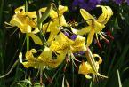 """Antoni Dziuban """"lilijki"""" (2003-07-09 20:12:40) komentarzy: 22, ostatni: bardzo trudno kadrować takie kwiaty - mi się nie udaje:) a tutaj udany przykład"""