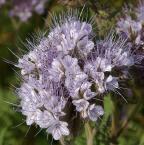 """Antoni Dziuban """"na łące"""" (2003-07-11 20:18:25) komentarzy: 22, ostatni: Piekne foto, subtelny obraz, a kolor kwiatow rzadko spotykany.  +++"""
