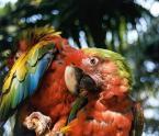 "Antoni Dziuban ""Papuga II"" (2001-02-25 20:57:30) komentarzy: 29, ostatni: Piękne kolory ... Ara to bardzo piękny ptak ..."