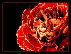 """Elżbieta """"w kolorze miłości ....."""" (2004-01-17 21:32:53) komentarzy: 53, ostatni: jak miłość )))"""