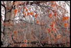 """DZID """"mrozem i kolorem"""" (2004-02-18 12:43:15) komentarzy: 22, ostatni: COOL: Liście wyglądają jak witraże zrobione z odpustowych lizaków. Wspaniałe, a  myśłalem że to efekt PS."""