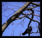 """Anka """"Niebo z umiarkowanie zadowolonym gawronem na gałęzi, która czuje wiosnę..."""" (2004-02-23 17:17:05) komentarzy: 34, ostatni: he he, dowcipny tytulik :)"""