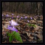 """algernon """"drugie"""" (2004-04-06 19:51:31) komentarzy: 19, ostatni: Sliczne wiosenne,jak pieknie kolory kwiatow wyplywaja z szarosci wczesnej wiosny ! :-))"""
