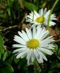 """fantazja107 """"wiosenne kwiatuszki"""" (2004-04-26 21:08:25) komentarzy: 44, ostatni: Sliczne i delikatne :-)))"""