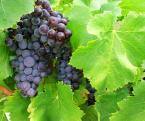 """borQT """"... jak widać - wino w formie poczwarki ..."""" (2004-06-08 15:22:50) komentarzy: 8, ostatni: Szkoda ze miejscami listki przepalone. Moim zdaniem w takich zdjeciach nie powinno tego byc. W lewym dolnym zalapalo sie tez cos bialego :/ Bez tych usterek byloby fajne. Pozdrawiam"""