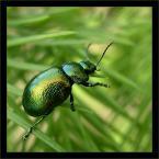 """Zazula """"ZŁOTKA - Chrysomela varians"""" (2004-06-10 19:12:31) komentarzy: 24, ostatni: pookor: i kurczak i owad z tego samego podworka :)"""