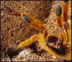 """algernon """"pterinochilus murinus"""" (2004-07-31 13:43:26) komentarzy: 13, ostatni: jak ptasznik tak robi, to chyba nie jest w dobrym humorze :))"""