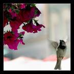 """DZID """"..."""" (2004-08-25 21:15:47) komentarzy: 55, ostatni: zawsze się zastanawiam: czy takie zdjęcia to przypadek czy wy na prawdę czekacie godzinami aż jakiś ptaszek przyleci do kwiatka :)"""
