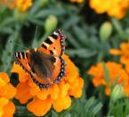 """YaaL """"Mimikra"""" (2004-09-10 20:10:59) komentarzy: 4, ostatni: Piękny motylek, choć troszkę nieostry."""