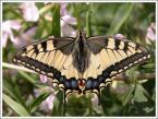 """matka_Wariatka """"przylapany"""" (2004-10-17 19:49:10) komentarzy: 19, ostatni: spróbuj wypatrzeć gąsiennicę,są pięknie ubarwione i lubią koper:)"""