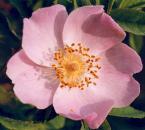 """Antoni Dziuban """"Dzika róża"""" (2001-06-03 20:44:14) komentarzy: 21, ostatni: No wlasnie gdyby wiecej rosy, ale i tak to jest git."""