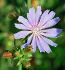 """Michał Drawert """"Polny kwiatek ;-)"""" (2004-12-06 17:22:54) komentarzy: 13, ostatni: ten polny kwiatek to cykoria podróżnik-jeden z moich ulubionych ;-) to miłe,ze komus jeszcze się spodobał"""
