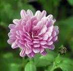 """Zbigniew Pluta """"Listopadowy kwiatek."""" (2002-11-23 19:00:31) komentarzy: 33, ostatni: a ten pączuś z boku jest świetny"""