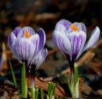 """fantazja107 """"ach ta wiosna..."""" (2005-04-02 20:07:59) komentarzy: 58, ostatni: ładne krokusiki"""