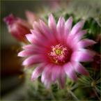 """Zazula """"Delikatność"""" (2005-05-13 18:41:21) komentarzy: 18, ostatni: sensowna: roze to i owszem ale kaktusa na pocztowcenie widzialam ;)"""