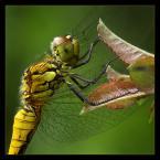 """MirekSad """"Zakochany w jabłoni"""" (2005-07-06 22:07:55) komentarzy: 81, ostatni: switne makro ... w ruchu byla??? tak jakos sie skrzydla ulozyly jak by dopiero ladowala:)"""