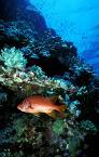 """Andrzej Gorzkowski """"Nazywam sie  Wiewiorka Dlugoszczeka  i tak sie tu schowalam sprytnie pod tym koralem, ze nikt mnie nie znajdzie !"""" (2003-01-18 10:05:47) komentarzy: 51, ostatni: Nie cała, nie cała.. he he he.. Co sobie pooglądam, to moje ;-))"""