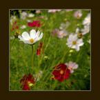 """Wołodytjowski """"Kwiaty tego lata"""" (2005-08-15 00:47:25) komentarzy: 58, ostatni: Ładna mieszanka kwiatowa. Jak zbierana na zioła. Przyjemne i z głębią."""