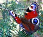 """borQT """"a se siedzi !!"""" (2005-10-07 12:28:24) komentarzy: 15, ostatni: dzięki - mnie też sie podoba bo inny jest ten motylek - on jest modelem :)"""