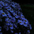 """beige """"wieczorna niebieskość fioletu"""" (2005-10-20 20:37:42) komentarzy: 34, ostatni: aster nowoangielski o ile się nie pomyliłam w wielu gatunkach asterków :) pozdrawiam i dziękuję za komentarze"""