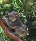 """Frotka """"Koala"""" (2005-11-12 13:08:10) komentarzy: 10, ostatni: i poczochraj juz moj plusz"""