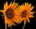 """beige """"..."""" (2005-11-21 21:11:59) komentarzy: 24, ostatni: uwielbiam słoneczniki a twoje sa wyjądkowo ciekawie pokazane"""
