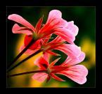 """anfo """""""" (2005-11-28 16:58:08) komentarzy: 31, ostatni: Nie wiem jak Ty to robisz, ale z kazdego kwiatka, czy innej roślinki potrafisz wysisnąć wszystkie soki, żeby wyszło doskonałe zdjęcie. Mogę jedynie pozazdrościć..."""