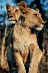 """Bobeck """"Lwy"""" (2005-12-03 16:53:23) komentarzy: 13, ostatni: oj tak piękne to nie zoo !"""