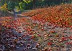 """kariola """"Ścieżką liściastą wędrując ..."""" (2006-01-02 19:23:56) komentarzy: 52, ostatni: pięknie"""