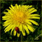 """Zazula """""""" (2006-01-07 18:15:45) komentarzy: 6, ostatni: Napewno kwiat dobrze pokazany.Co ważne, wyraźny i nie zlewa się.Dzisiaj jest """"bum"""" na źle zrobione kwiaty.Kadr  może być, tło do przyjęcia."""