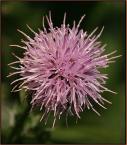 """Adam Pol """"nawet kwiat ostu może być łądny w taki ziąb"""" (2006-01-22 19:47:07) komentarzy: 17, ostatni: znakomite!, w LD lekko bym wytłumił tło, pozdrawiam, (wstaw cos nowego, hahaha...)"""