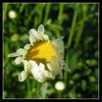 """beige """"...nieśmiałość..."""" (2006-01-26 21:16:26) komentarzy: 44, ostatni: piękne kwiaty...."""