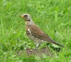 """Lewek """"Kwiczołek"""" (2006-01-27 14:10:25) komentarzy: 8, ostatni: Świetnie się wystawił -wspaniały ptak-ale o jakości to juz wiesz-pozdr"""