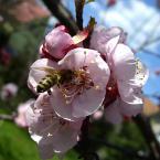 """Zazula """""""" (2006-02-02 23:26:37) komentarzy: 9, ostatni: bardzo piękne.. i powtórzę.. jednak da się i z kwittnącego drzewa wyciąc ładny kadr :) pozdrawiam"""