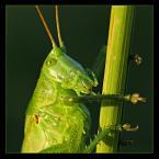 """Slawcio """"Pasikonik zielony"""" (2006-02-18 10:24:46) komentarzy: 20, ostatni: Co za zbliżenie! Zdjęcie super! +++ Pozdrawiam i zapraszam +++"""