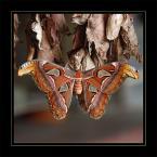 """Zosieńka Olesiak """"attacus atlas"""" (2006-03-09 21:35:08) komentarzy: 312, ostatni: jest piękne DNO - gratki :)"""