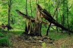"""ziczak """"śmierć grabu"""" (2006-03-13 00:30:14) komentarzy: 1, ostatni: niby potężne a kruche jak zapałka..."""