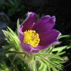 """HEJA """"Wiosennie..."""" (2006-05-01 20:10:55) komentarzy: 35, ostatni: piękna słoneczna sasaneczka, ładna gra światła na obrzeżach liści i płatków"""