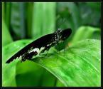 """Aga78 """"PAPILIO LORIMIERI"""" (2006-05-02 17:01:56) komentarzy: 110, ostatni: ostrości mz zabrakło na motylu ....:)"""
