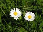 """dorotanna """"z pozdrowieniami z Karpacza"""" (2006-05-09 09:49:26) komentarzy: 13, ostatni: Wolałabym mniejszą GO, ale podoba mi się świetlistość tych kwiatków..."""