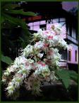 """Franco Zarrazzo """"""""Miłości świeżej zakwitnąć kwiatem, tak jak zakwitną kasztany..."""" czyli Pamiątka Jednego Spaceru - z dedykacją dla Pomi"""" (2006-05-14 19:02:24) komentarzy: 8, ostatni:  Faktycznie jest trochę nieostre... ale mniejsza... Dziękuję za poparcie:)."""