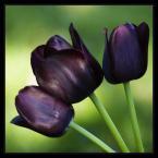 """Żaba-Ewa """"Kwadratowe Portrety Kwiatów #3: Trzej Muszkieterowie"""" (2006-05-21 19:25:54) komentarzy: 70, ostatni: kolory fajne ale reszta kicha"""