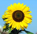 """Antoni Dziuban """"w ogrodzie"""" (2006-09-29 22:02:54) komentarzy: 27, ostatni: Ta pracowita pszczółka sprawia, że foto jest miodzio :-) piękne!"""