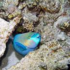 """Luhan """"Ślicznotka"""" (2006-10-07 11:47:22) komentarzy: 13, ostatni: Info o walorach smakowych przekonuje mnie do tej rybki najbardziej :D"""