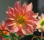 """Antoni Dziuban """"w ogrodzie"""" (2006-10-14 22:39:24) komentarzy: 26, ostatni: Pieknie pokazany ten """"swojski"""" kwiat:))"""
