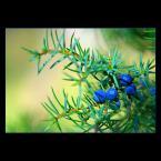 """Mieszko Pierwszy """"Natura Jesieni.."""" (2006-10-18 16:42:57) komentarzy: 18, ostatni: troszkę razi, ale sam kolor niebieski owoców boski:D lubię taki blue"""