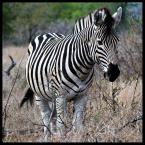 """David de Rosier """"Śniadanie w piżamie"""" (2006-11-04 08:44:00) komentarzy: 11, ostatni: piękna ta zebra :)"""