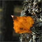 """kariola """"Jesień liście z(a)biera; ostatni .."""" (2006-11-26 17:05:57) komentarzy: 40, ostatni: Bardzo, bardzo sympatyczne."""