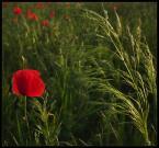 """-MIRABELL- """"*---*"""" (2006-12-07 22:31:37) komentarzy: 43, ostatni: Piękna zieleń z mocnym, czerwonym akcentem. Przyjemne ujęcie!"""