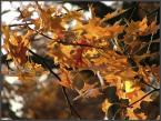 """TomD """"jesienny dąb"""" (2007-01-03 18:50:47) komentarzy: 2, ostatni: ach jakie listeczki:):):) mi to przypominaja tkankę łączną...tak wygladaja:D"""